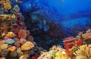 Büyük Bariyer Resifi 1995'ten bu yana mercanlarının...