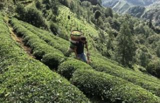 ÇAYKUR bu yıl 752 bin ton yaş çay aldı