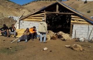 Tunceli'de ayılar, 70 koyunu telef etti