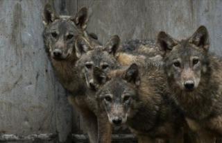 Mehmetçiğin dağda bulduğu kurt yavrularının...