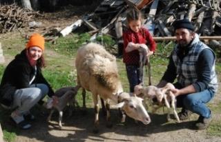 Bayramiçli üreticinin koyunu tek batında altı...