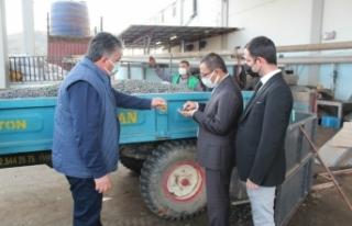 Üzümün başkentinde zeytin üretimi artıyor