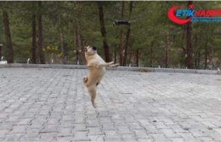 Köpeklerin drone ile imtihanı