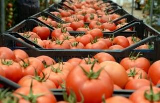 Türkiye'nin domates ihracatı geçen yıl 313...