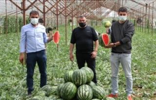 Antalya'da seralarda üretilen yılın ilk karpuzlarının...