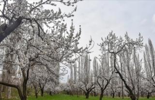 Kars'ta çiçek açan kayısı ağaçları görsel...