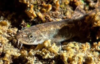 Van Gölü'nde keşfedilen balık türünün...