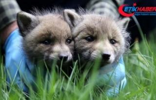 Sivas'ta köylülerin bulduğu 2 kurt yavrusu...