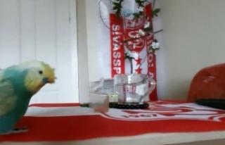 Sivasspor aşığı muhabbet kuşu tezahüratlarıyla...