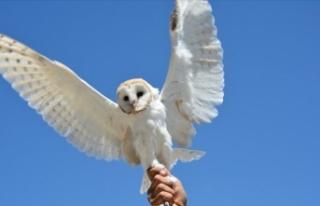 Şanlıurfa'da yaralı bulunan peçeli baykuş...