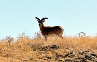 Nesli tehlike altında bulunan Anadolu yaban koyunu...