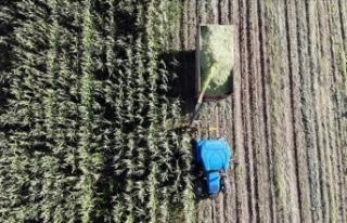 Çiftçiler devlet destekli silajlık mısırın hasadına...