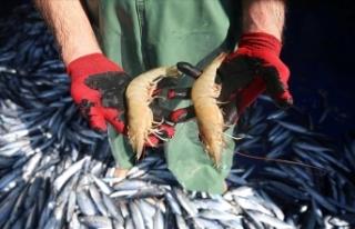 Hatay'da ağlara takılan jumbo karides balıkçıların...