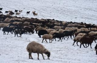 Kars'ta kar yağışı besicileri hazırlıksız...