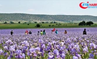 Zambak tarlaları turistlerin ilgi odağı oldu