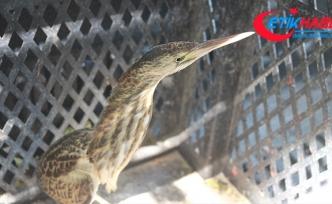 Dünyada nesli tükenmekte olan kuş Adıyaman'da görüldü