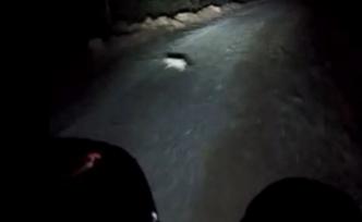 Şehre inen domuzlar motosiklete çarptı