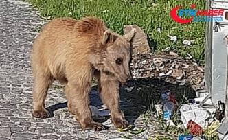 Bitlis'in maskotu boz ayılar yeniden görüldü
