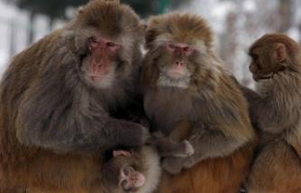 Maymun yeni doğmuş bir bebeği öldürdü