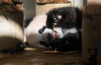 Nesli tükenmiş bir panda soyu ortaya çıkarıldı