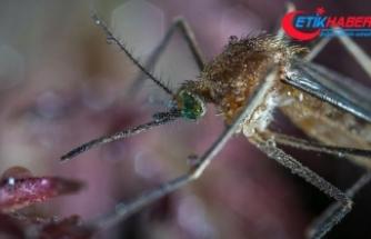 Çin'de dev sivrisinek bulundu