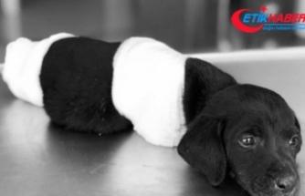 Patileri kesilen yavru köpeğin ölümü soruşturmasında yeni gelişme