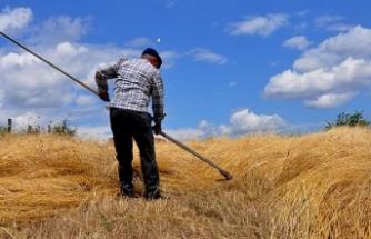 'Buğdayın atasını' geleneksel yöntemlerle hasat ediyorlar