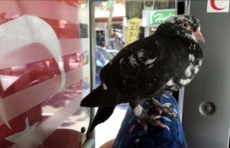 Yaralı bulduğu güvercinle direksiyon sallıyor