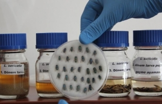 Sinek larvaları hastalara şifa oluyor
