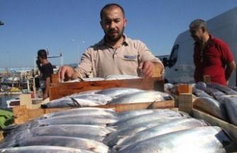 Karadeniz'de palamut bolluğu yaşanıyor