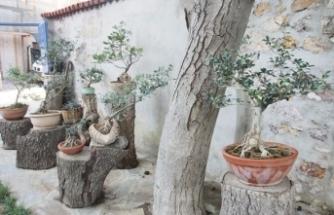 Zeytin fidanlarının bonsai yolculuğu