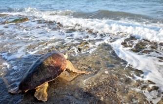 Mersin'de tedavi edilen deniz kaplumbağaları suyla buluştu