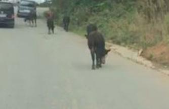 Otlamaya giden büyükbaş hayvanlara ipli işkenceye tepki