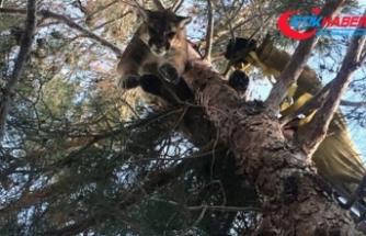 Ağaçtaki pumayı itfaiyeciler kurtardı
