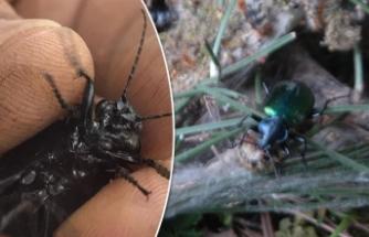 Kahramanmaraş'ta ormanları 'terminatör böcek' koruyacak
