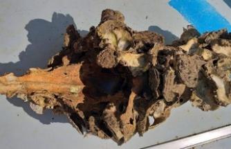 Büyük Menderes Nehri'ne atılan hayvan leşi ve iskeletleri tehlike saçıyor