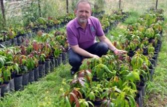 Gazipaşa'da mango ağacı sayısı 5 bini buldu