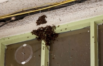 Arılar kentin işlek sokağında oğul verdi