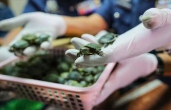 Malezya'da havalimanında 5 binden fazla kaplumbağa ele geçirildi