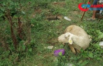Kaçan kurbanlık koyun 9 gün sonra bulundu