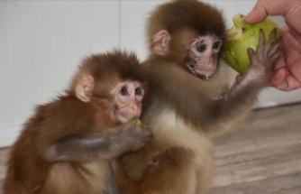 Sınırda yakalanan örümcek maymunları koruma altına alındı