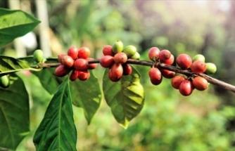 Antalya'da kahve ağacı yetiştirilecek