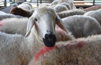 Türkiye koyun sütü üretiminde ilk sıraya yükseldi
