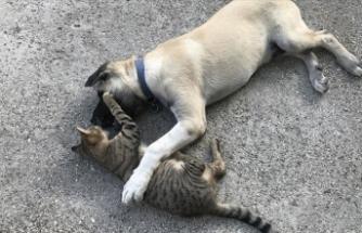 Kedi ile köpeğin şaşırtan dostluğu