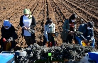 Mardin kırsalında devlet desteğiyle dikilen lavantalar kadınlara geçim kaynağı oldu