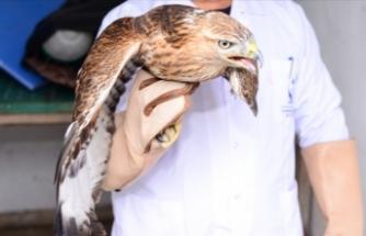 Silahla yaralanan kızıl şahin tedavisinin ardından doğaya salındı