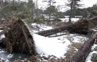 Bolu'da fırtına nedeniyle onlarca çam ağacı devrildi