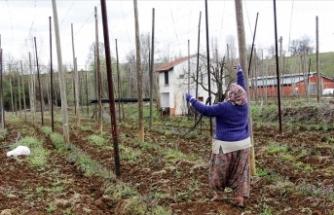 Yağışlarla umutlanan şerbetçi otu üreticisi iplik sarma mesaisine başladı