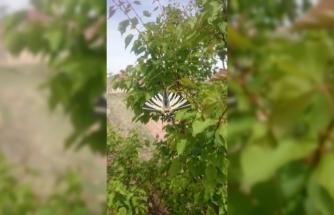 Oltu'da ilginç kelebek görüldü