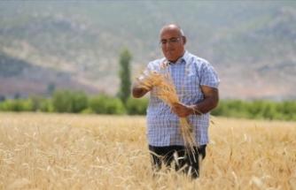 Bankacılığı bıraktı atalık buğday tohumlarının ekimini yapıyor